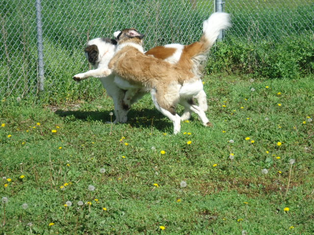 Dogs playing supervised in play-yard